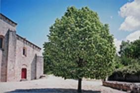 シルヴァカーヌ修道院「木」