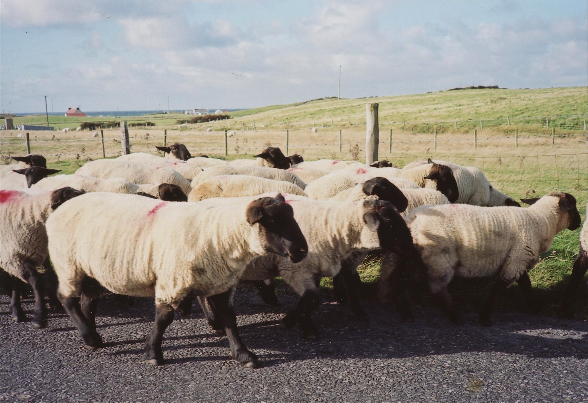 ドニゴール州北の海辺を行く羊たち ドニゴール州、アイルランド